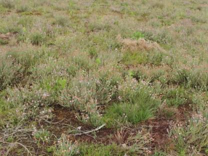 jonge vegetatie dopheide 15