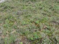 jonge vegetatie dopheide 3