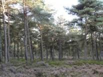 struikheide en empetrum nigrum in bos