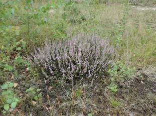 struikheide in een mos vegetatie op leemachtige grond