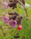 bloemen longkruid 1