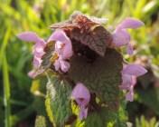 paarse dovenetel bloem