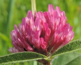 bloem Trifolium pratense