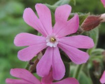 bloem dag koekoeksbloem