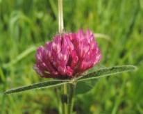 Trifolium pratense detail