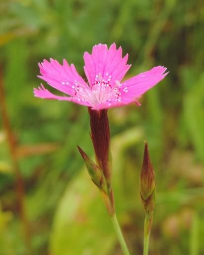 dianthus deltoides 3