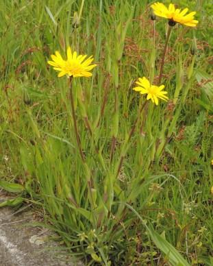 tragopogon pratensis plant