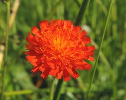 oranje havikskruid (1)