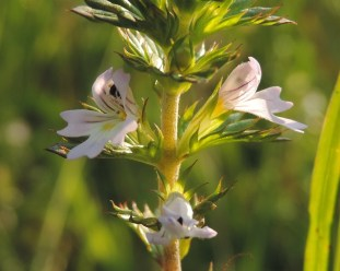 bloem ogentroost 3