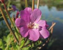 bloem-harig-wilgenroosje