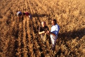 men inspecting wheat