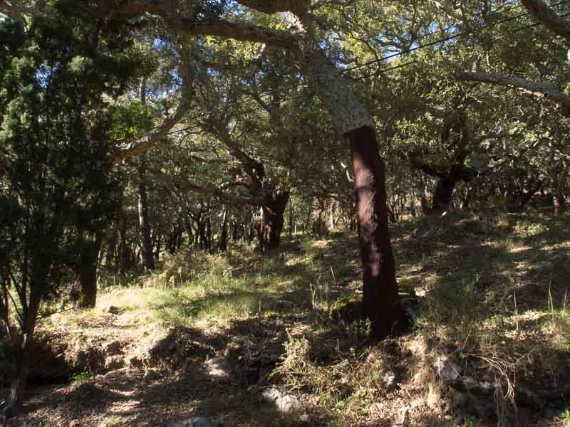 Korkeichenwald am Fuße des Foia. Fast schon etwas verwunschen. Oder?