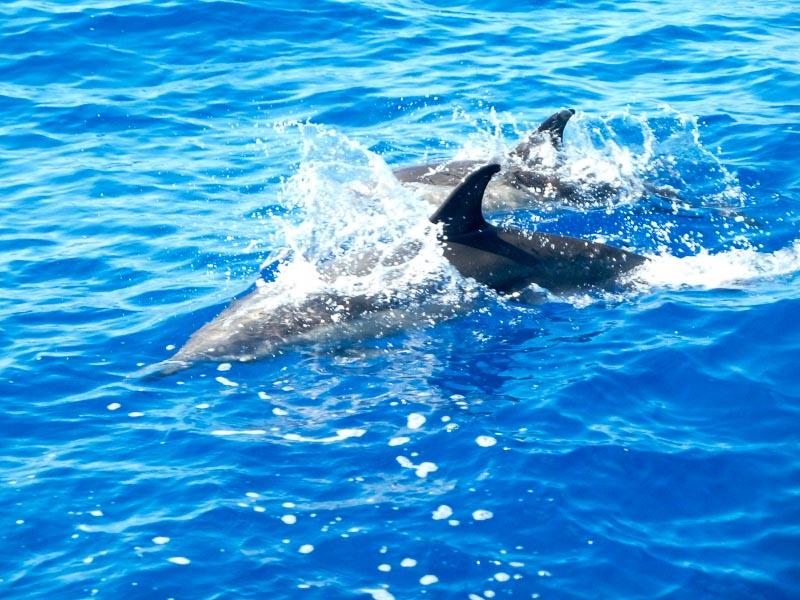 Und wieder Delfine bei Lesmona