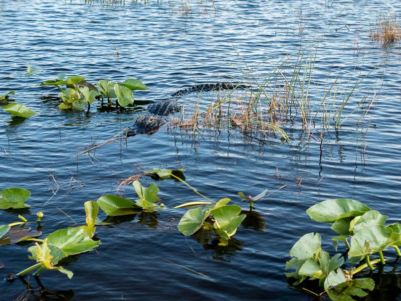 Der erste Alligator! Es wurden noch viele mehr!