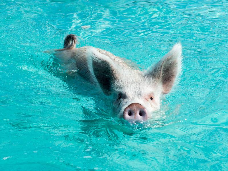 Staniel Cay: schwimmende Schweine