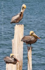 Pelicans 17