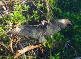 "Black vulture saying ""woof"""
