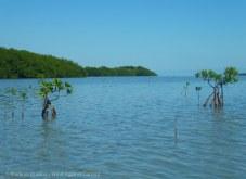 Shoals grow new mangroves