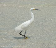 St. Pete Beach birds 3