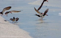 St. Pete Beach birds 26