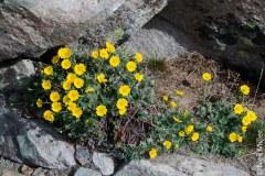 Alpine flowers on Whistlers