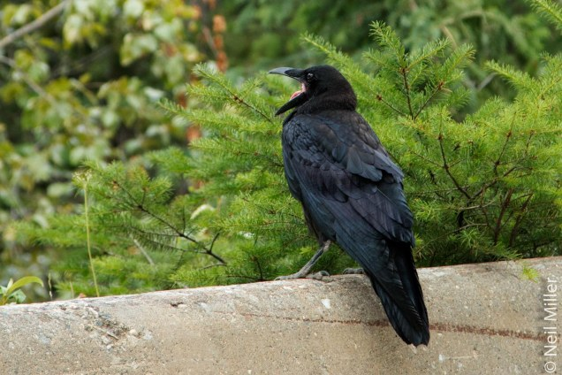 Crow with a lot to say