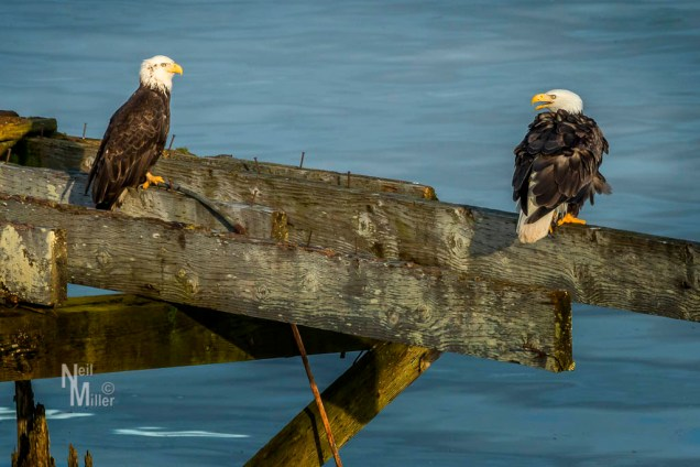 Baldheaded Eagles