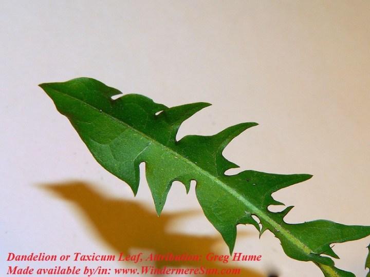 Dandelion-TaxicumLeaf photo by Greg Hume CC final