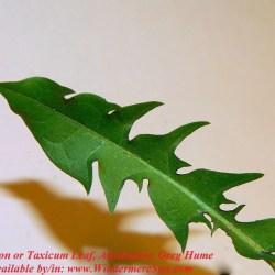 Dandelion-TaxicumLeaf photo by Greg Hume CC