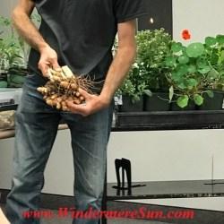 Turmeric from A Natural Farm (credit: Windermere Sun-Susan Sun Nunamaker)