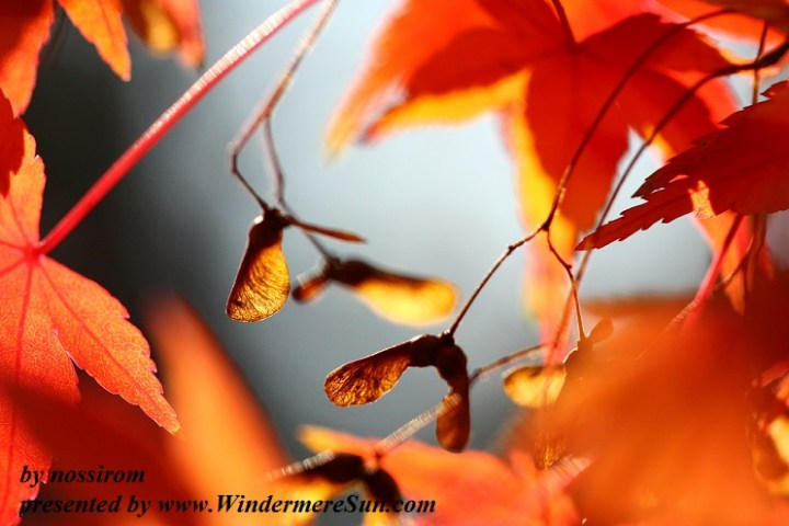 autumn-leaves-1343649-freeimages-by-nossirom-final