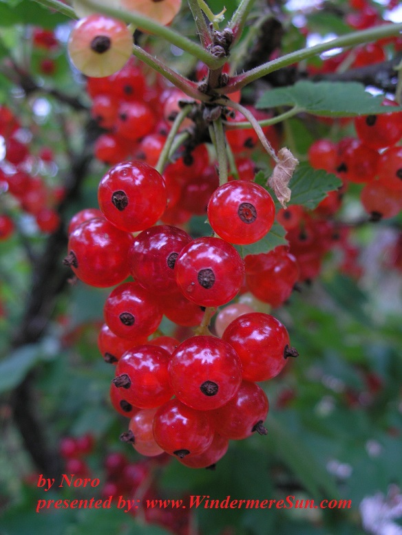currant-1318930-freeimages-by-noro-final