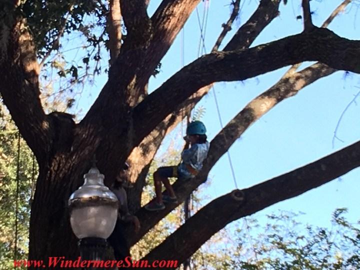 Tree Climber at Windermere Treebute of 2016 (credit: Windermere Sun-Susan Sun Nunamaker)