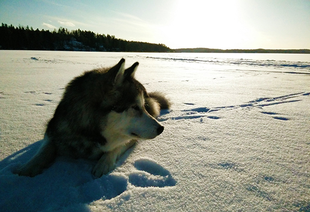 My malamute was feeling too hot and had to lie down and eat some snow during our break at the sea