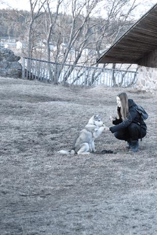 Alaskan malamute puppy training