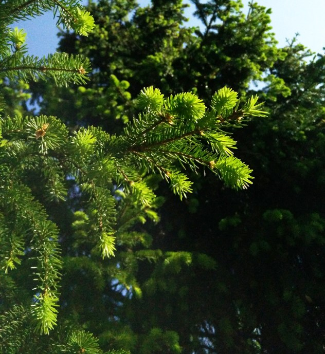 spruce shoots