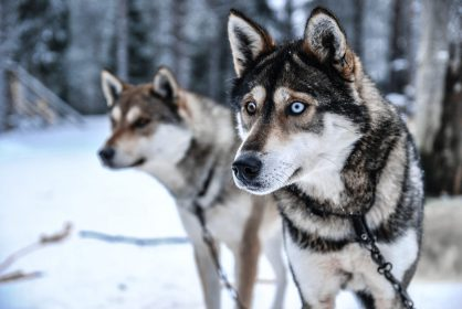 wolfdogs waiting for a meal after the workday in Finnish Lapland
