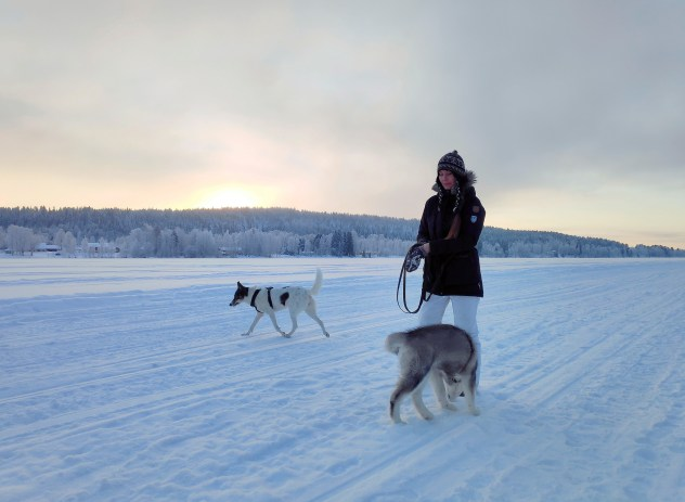 an adult Alaskan husky and an Alaskan malamute puppy on a frozen river in Lapland