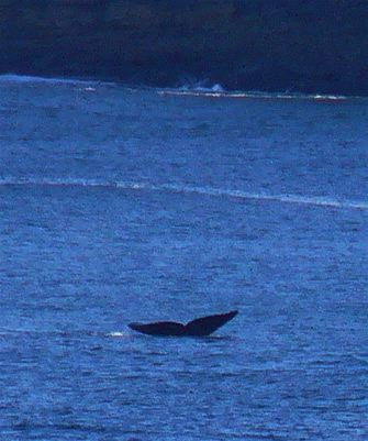 roaring_whales_2