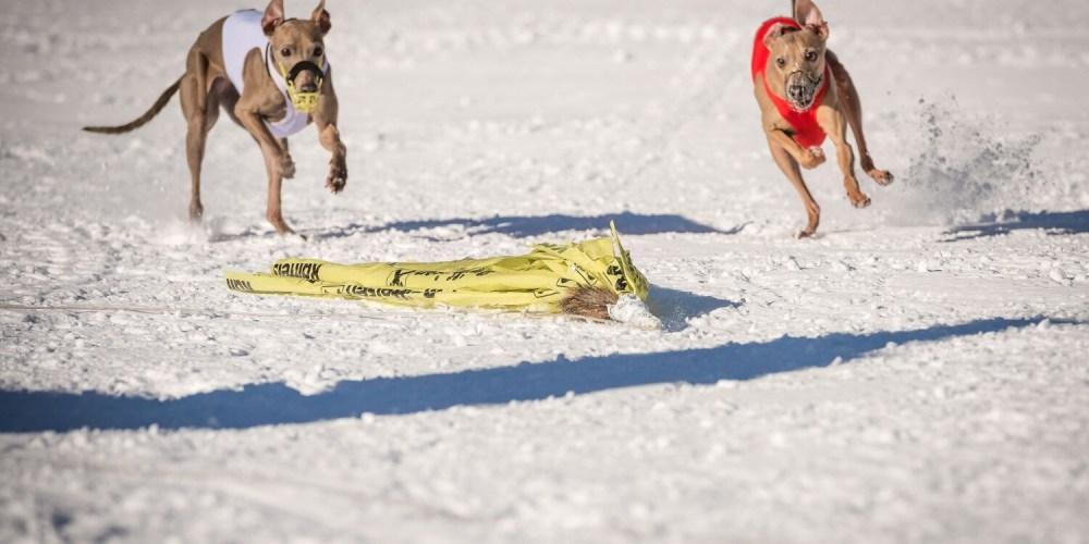 italienische Windspiele beim Schnee-Coursing
