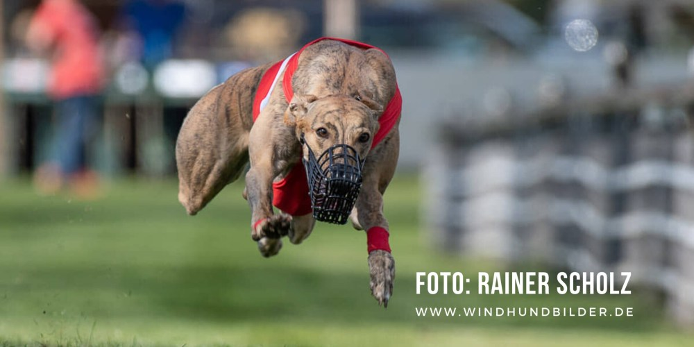 Training für Windhunde im Windhund-Rennsport