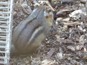 Chipmunk - full pouches