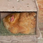 Buff Orpington on nest.