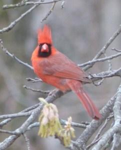 Cardinal Staredown