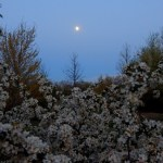 Moon over Sargentina crab apple trees.