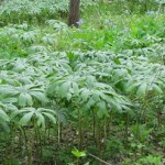 Mayapple patch