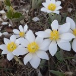 Bloodroot in bloom