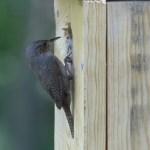 Wren At Nest
