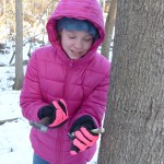 Tapping a Maple Tree