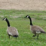 Goose couple